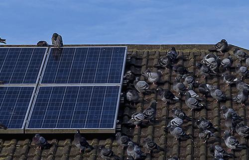 Pigeons on Solar panel